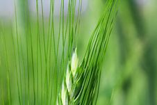 Free Agricultural Plants Stock Photos - 15204563