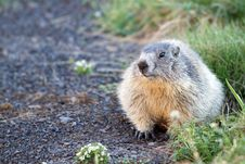 Free Marmot In The Alps Stock Image - 15204921