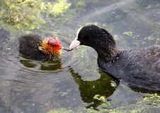 Free Coot With Chick. Royalty Free Stock Images - 15205999