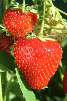 Free Ripe Strawberries. Stock Image - 15206111