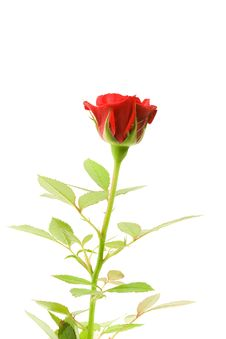 Free Red Rose On White. Royalty Free Stock Photography - 15206207