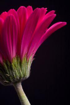 Free Pink Gerbera Stock Image - 15207051
