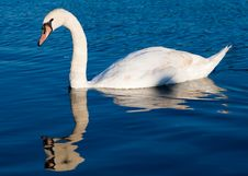 Free Swan Swimming In A Clear Blue Lake Stock Photography - 15207052