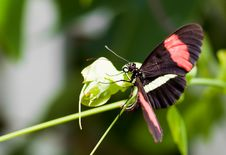 Free Black Butterfly With Red Stripes On A  Leaf Stock Photography - 15207152