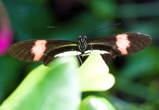 Free Black Butterfly With Red Stripes On A  Leaf Stock Photos - 15207163