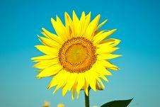 Free Sunflowers Stock Photography - 15207312