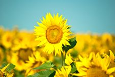 Free Sunflowers Stock Photos - 15207323