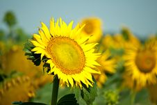 Free Sunflowers Stock Photography - 15207332