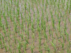 Free New Bloom Rice Field In Late Spring Royalty Free Stock Photo - 15207945