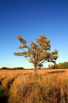 Free Oak On Yellow Field Stock Photography - 15208412