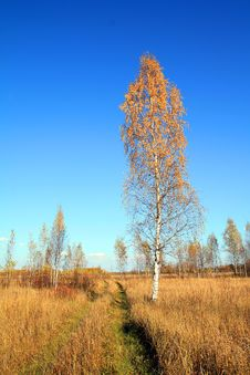 Free Birch On Autumn Field Stock Photo - 15208490