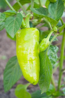 Green Peppers Royalty Free Stock Images