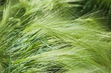 Free Green Cereal Royalty Free Stock Photo - 15208555