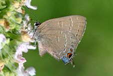 Free Banded Hairstreak Butterfly Royalty Free Stock Photo - 15208635