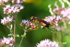 Free Great Golden Digger Wasp Stock Photography - 15208842