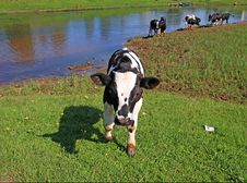 Free Calf Stock Photography - 15209192