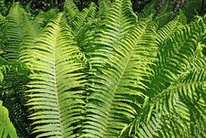 Free Green Fern Royalty Free Stock Image - 15209296