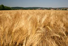 Free Barley Field Royalty Free Stock Image - 15209556