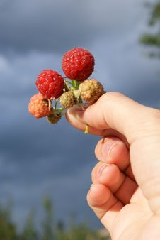 Free Sprig Of Red Raspberries In Hand Royalty Free Stock Photos - 15209708
