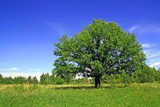 Free Oak On Field Royalty Free Stock Image - 15209996
