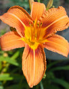 Free Orange Lily Stock Photography - 15210572