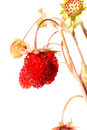 Free Wild Strawberry Stock Images - 15213284