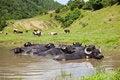 Free Buffalo In The Water Stock Photo - 15214100