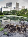 Free Baby Mallard Ducks Royalty Free Stock Image - 15217576
