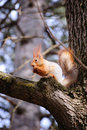 Free Wild Squirrel Eats A Nut Stock Photography - 15219442