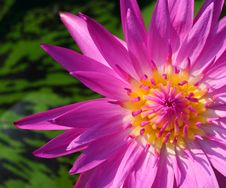 Free Lotus Flower Blossom Stock Images - 15210344