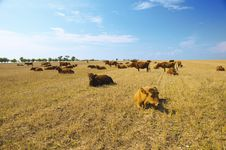 Free Cows Royalty Free Stock Image - 15210406