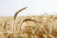 Free Wheat Royalty Free Stock Photography - 15210517