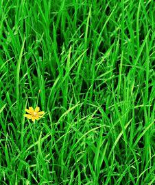 Free Rice Field Royalty Free Stock Images - 15210529