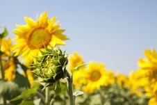 Free Yellow Sunflowers Royalty Free Stock Photo - 15210535