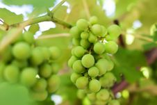 Free Bunch Of Grapes Stock Photography - 15210692