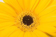 Free Yellow Gerbera Stock Image - 15210931