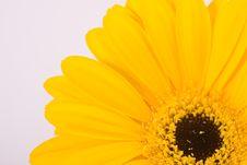 Free Yellow Gerbera Royalty Free Stock Image - 15210996