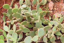 Free Cactus Royalty Free Stock Photo - 15211985