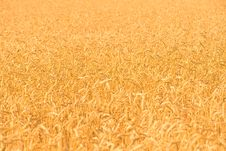 Free Rye Field Background Royalty Free Stock Photos - 15212998
