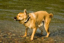 Yellow Dog In The Water Royalty Free Stock Photography