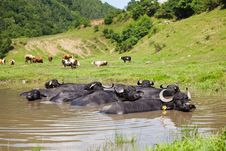 Free Buffalo In The Water Stock Photo - 15214100