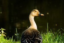 Free Wild Goose Stock Images - 15214384