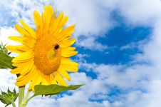 Free Sunflower And Sky Royalty Free Stock Image - 15214716