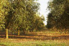 Free Olives Royalty Free Stock Image - 15214916