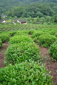 Free Tea Plants Fields Royalty Free Stock Image - 15216246