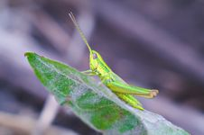 Free Bright Grasshopper Stock Photos - 15216653