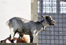 Free Baaing Goat Royalty Free Stock Photography - 15216867