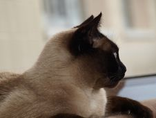 Free Half-face Siamese Cat Stock Images - 15217274