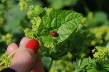 Free Ladybug And Nails Royalty Free Stock Photos - 15217358