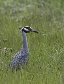 Yellow-crowned Night-heron Stock Images